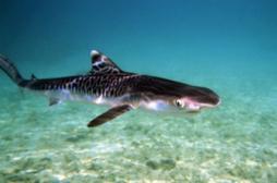 L'Agence de l'alimentation interdit la consommation de requin