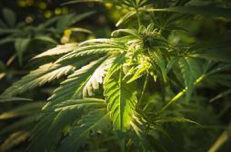 L'usage thérapeutique du cannabis autorisé par un tribunal