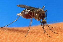 Le génome du chikungunya séquencé par des Français