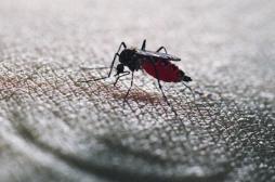 VIDEO : un moustique en action filmé au microscope