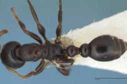 Antibiorésistance : la solution passe par les fourmis