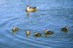 Grippe aviaire : l'abattage préventif touche 415 communes