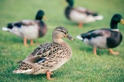 Grippe aviaire: les conseils de l'UE pour éviter l'épidémie