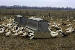 Grippe aviaire : l'Arabie Saoudite suspend ses importations de volailles françaises
