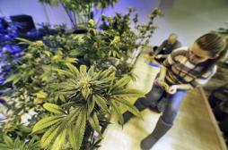 Cannabis : les dangers d'un dépistage obligatoire au lycée
