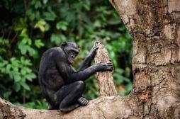 Bonobos : les singes plus proches de l'homme