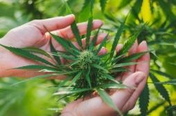 Le cannabis thérapeutique expérimenté dès 2020