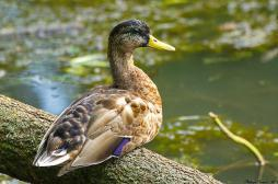 Grippe aviaire : 25 foyers signalés en France