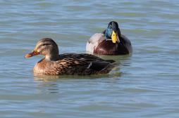 Grippe aviaire : deux foyers suspects dans l'Aveyron