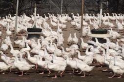 Grippe aviaire : vide sanitaire dans le sud-ouest pendant six semaines