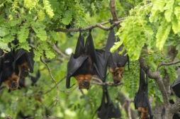 Six coronavirus jusqu'alors inconnus découverts chez la chauve-souris au Myanmar