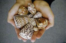 Le venin d'un escargot des mers efficace pour calmer la douleur