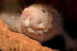 Longévité : comment le rat taupe nu résiste au cancer