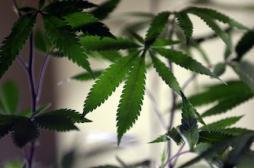 L'usage thérapeutique du cannabis condamné