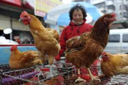Grippe aviaire : le H7N9 inquiète l'OMS