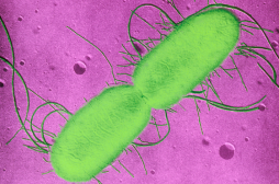 Steaks hachés retirés de la vente :  E-coli  en cause