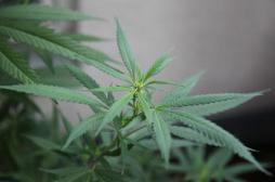 Cannabis thérapeutique: la mise en garde de l'Académie de médecine