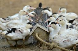 Grippe aviaire : 187 communes ciblées par les abattages