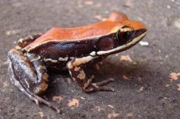 Le mucus de grenouille efficace contre la grippe