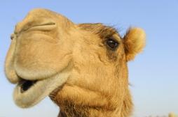 Les anticorps de chameau, nouvel espoir de traitement de la Covid-19