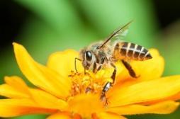 Le glyphosate impliqué dans la mort des abeilles en altérant leur microbiote