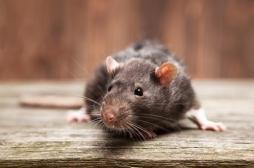 Gironde : qu'est-ce que la leptospirose, cette maladie transmise par l'urine des rats qui a tué un triathlète ?