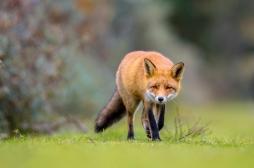 Epidémie de Lyme : chasser le renard nous fait perdre un allié précieux contre cette maladie infectieuse