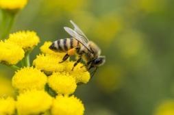 Alimentation : les abeilles accros aux pesticides néonicotinoïdes