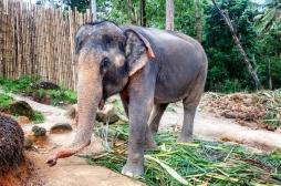 Inde : risque élevé de tuberculose lié aux promenades à dos d'éléphant