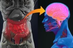 Cerveau - intestin : découverte d'une nouvelle connexion quasi-instantanée