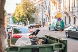 Nos déchets donnent du cholestérol aux corbeaux des villes