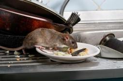 Un premier cas humain détecté à Hong Kong : qu'est-ce que l'hépatite E du rat ?