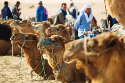 Rhume : le chameau à l'origine d'une souche virale