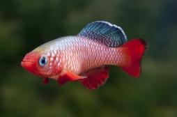 Un poisson capable d'arrêter de vieillir