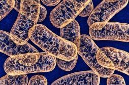 Transformation des graisses et sucres en énergie : la protéine qui régule ce processus identifiée