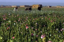 Des levures génétiquement modifiées produisent un opiacé