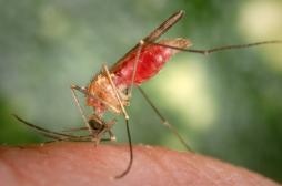 Typhus : la bactérie est transmise par le moustique