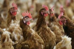 Grippe aviaire : la Corée du Sud interdit l'importation de volailles françaises