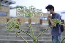 Allergie à l'ambroisie : un plan de lutte en 5 actions