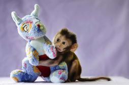 Autisme : des chercheurs reproduisent des symptômes chez des singes