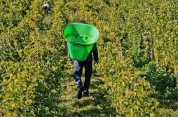 Pesticides : un viticulteur bio jugé pour avoir refusé de traiter ses vignes