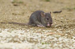 Peste : un deuxième touriste infecté au parc de Yosemite