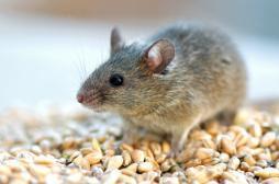 Des souris rajeunissent grâce à une vitamine