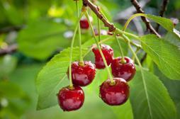 Insecticide pour les cerisiers : Stéphane Le Foll saisit l'Europe