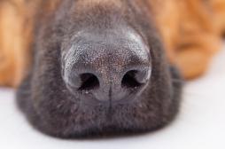 Cancer du sein : l'Institut Curie se sert des chiens renifleurs