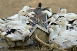 Grippe aviaire : une pénurie de foie gras à Noël