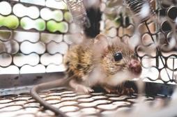 Les souris aussi ressentent de l'anxiété