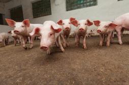 Elevages porcins : les contrôles protègent-ils les consommateurs ?
