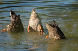 Grippe aviaire : un second foyer détecté en Aveyron