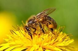 Néonicotinoïde : la toxicité des pesticides tueurs d'abeilles confirmée